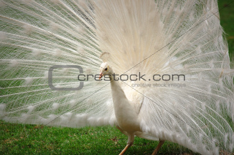 Vanity -  Beautiful White Peacock
