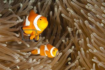 Pomacentridae,  Clown Fish or Anemonefish