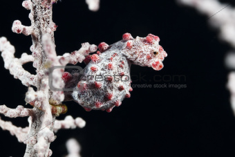 Syngnathidae Pigmy Sea Horse