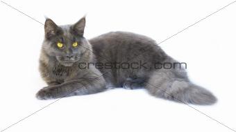 blue cat