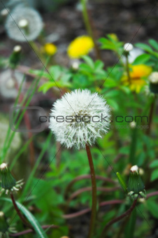 Forest Dandelion