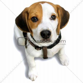 Napoleon Puppy Beagle, on the white beckground