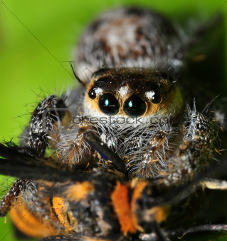 A Hairy Spider Having Lunch