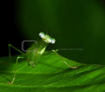 A Green Praying Mantis