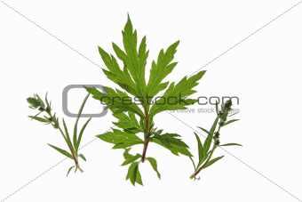 Common mugwort (Artemisia vulgaris)