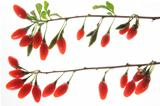 Goji berries (Lycium barbarum)