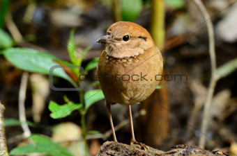female rusty-naped pitta