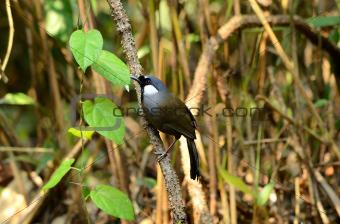 black-throated laughingthrush
