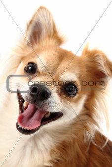 small chihuahua isolated