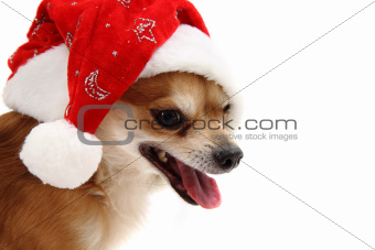 small chihuahua and christmas isolated
