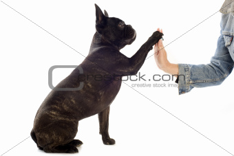 french bulldog and paw