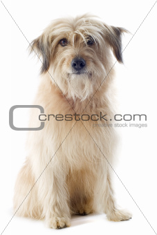 Pyrenean sheepdog 