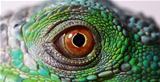 iguana eye