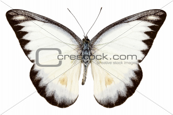 White butterfly species Appias lyncida