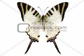 Butterfly species Graphium antiphates