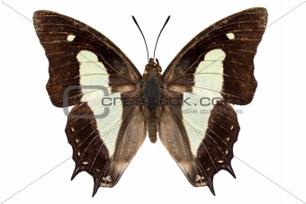 butterfly species Polyura athamas athamas