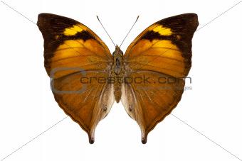 butterfly species Doleschallia bisaltide pratipa