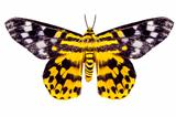 butterfly moth Dysphania subrepleta isolated