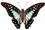 butterfly species Graphium bathycles