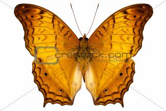 butterfly species Vindula dejone austrosundana