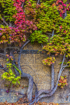 Colorful Ivy on Stone Wall