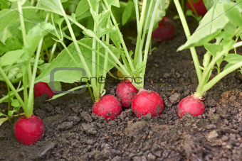 Red radishes in soil close up
