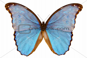 Butterfly species Morpho godarti assarpai
