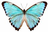 blue butterfly species Morpho portis thamyris