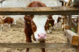 Calf in the barn