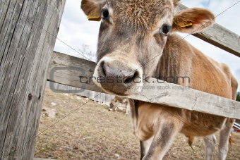 Calf behind fence