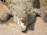 Crocodile is angry!
