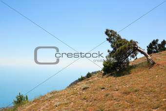 Pine On Mountain