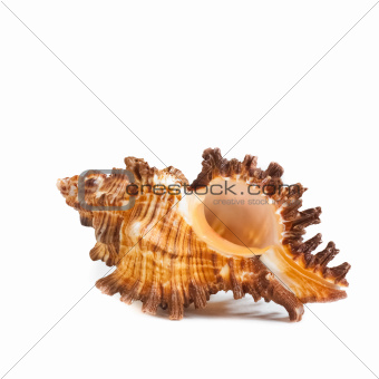 Seashell. Sea Cockleshell