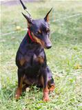 dog Miniature Pinscher breed sitting