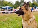 dog German shepherd breed