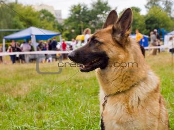 dog German shepherd breed