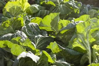 """Jug handle"" cabbages"