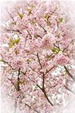Covered Cherry Blossom