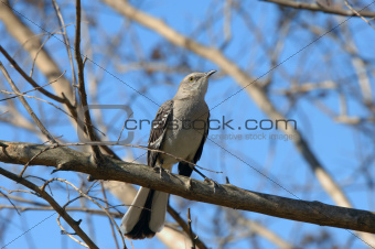 Arkansas Mocking Bird