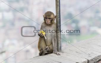 monkey in nepal