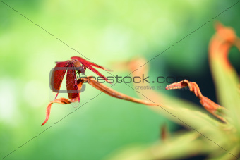 A red dragonfly at rest on a leaf