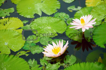 Pink water lilies and leaves in a pond