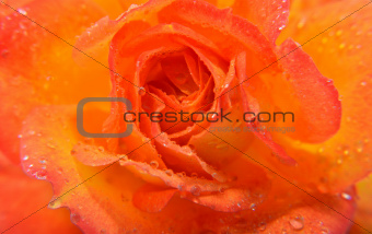 Closeup of a Orange Rose