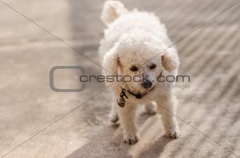 A little poodle dog