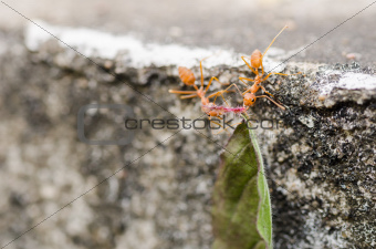 red ant power