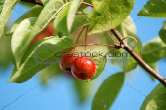 Shiny red crab apples
