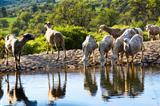 Sheep grazing 2