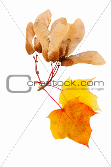 autumn leaves and seeds of maple