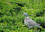 Dove on the green.