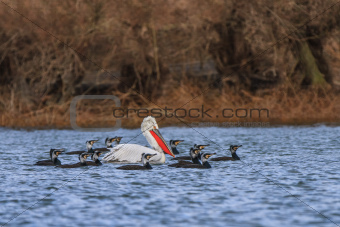dalmatian pelican and cormorants
